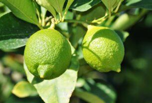 citron vert sur l'arbre