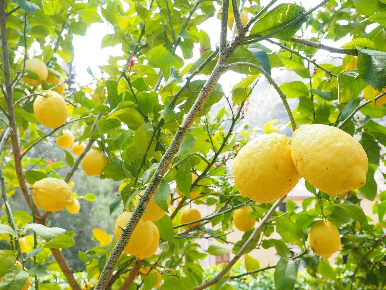 citrons jaunes et branches