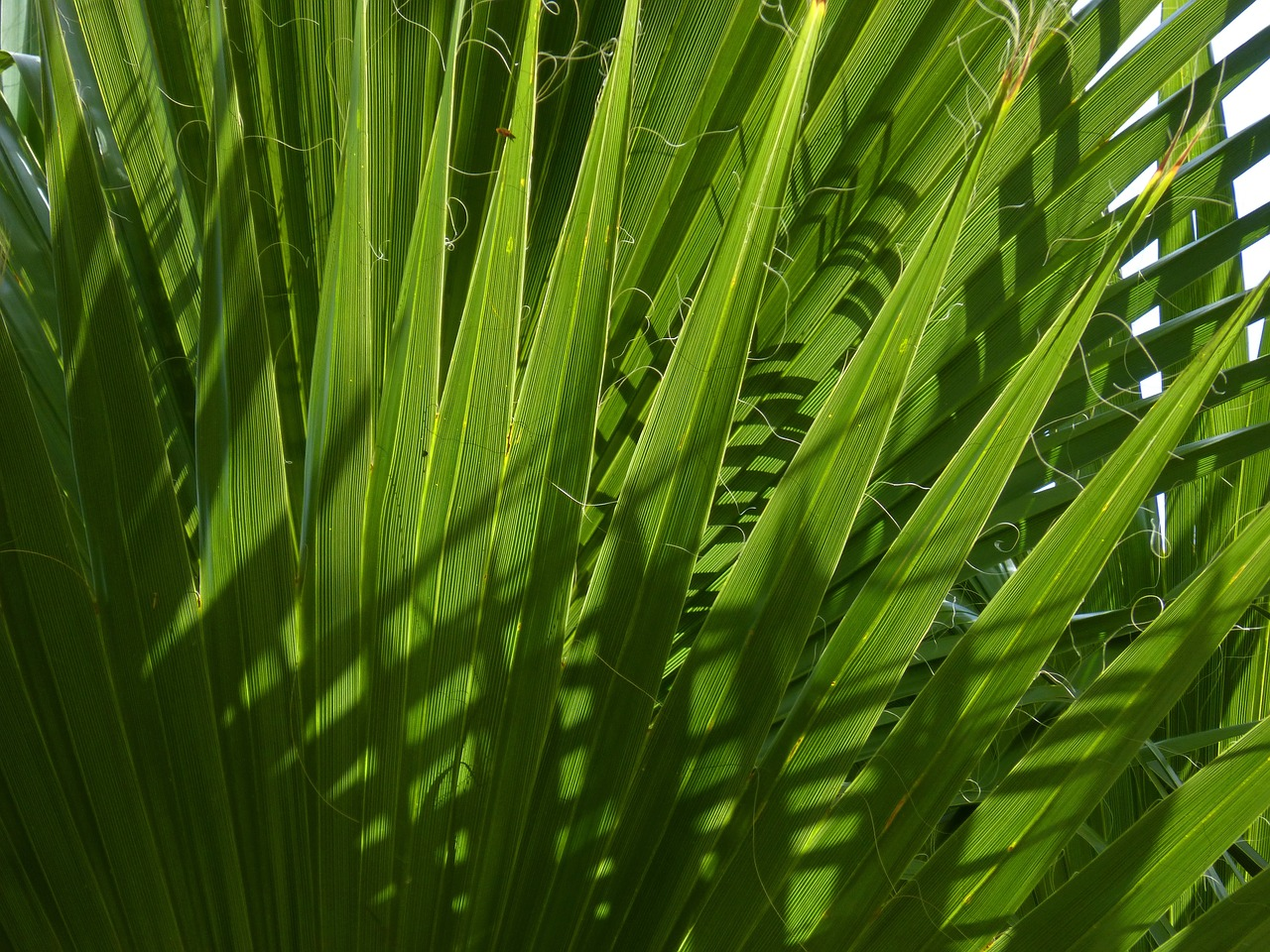 feuilles du palmier nain